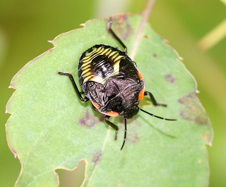 723px-IC Hemiptera larva