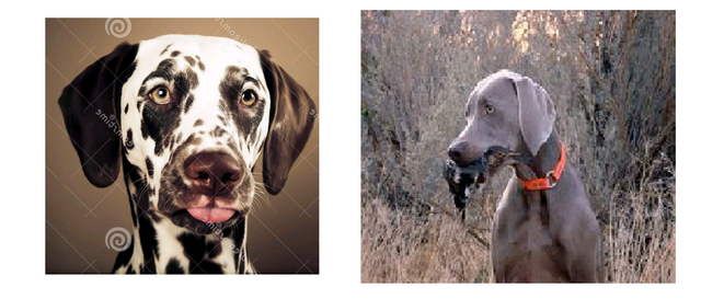File:Female Dalmatian And Male Weimaraner.png