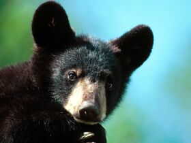 Im All Ears American Black Bear Cub Minnesota-1600x1200