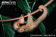 Silky Anteater Hanging on a Branch