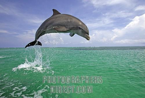 File:Bottlenose Dolphin.jpg