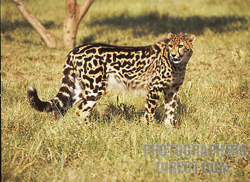 File:King Cheetah.jpg