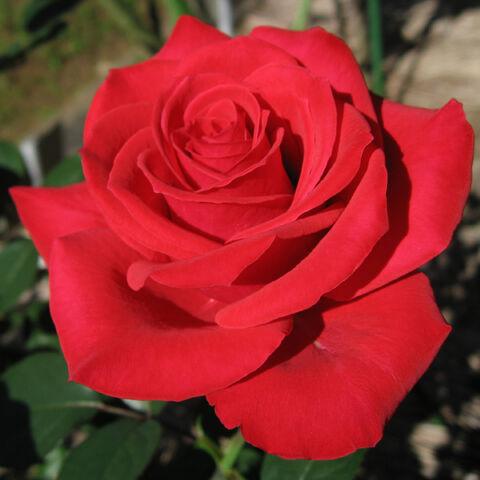 Plik:0I Róża.jpg