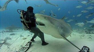 Jonathan Bird's Blue World Bull Sharks