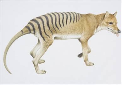 File:Tasmanian-tiger.jpg