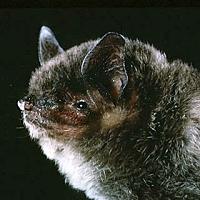 File:Gray bat.jpg