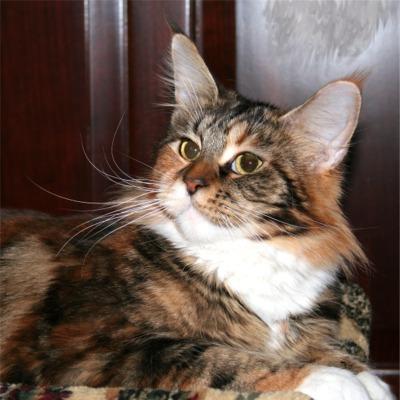 File:Maine-Coon-Cat-Dreamweaver2.jpg