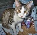 Snowshoe-cat-0007