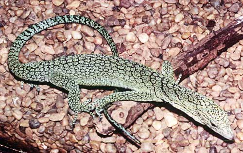 File:Blue-spotted-monitor-4-500.jpg