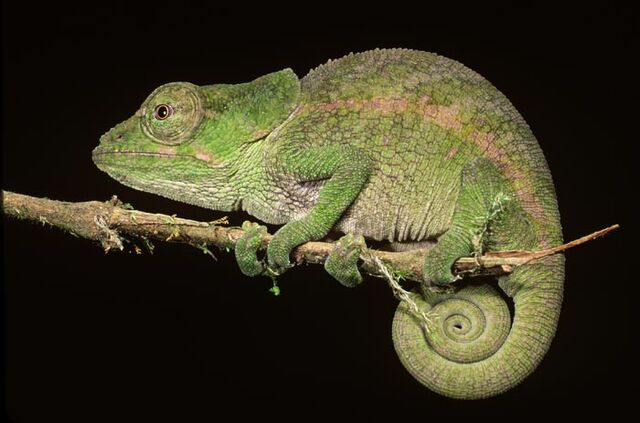 File:Short-horned Chameleon (Real).jpg