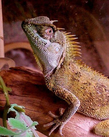 File:Horned-dragon.jpg