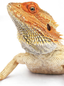 File:Bearded-dragon.jpg