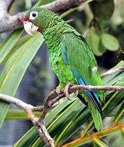 A Puerto Rican Parrot.