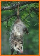 File:Opossum Avatar Premium.jpg