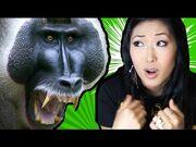 Monkeys Love Boobs