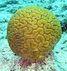 220px-Brain coral
