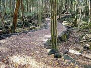 Aokigahara-forest-nature