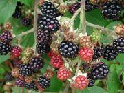 Wild blackberries(1)