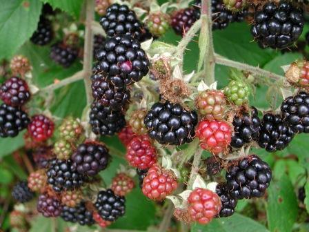 File:Wild blackberries(1).jpg