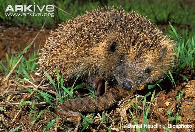 File:Hedgehog-eating-asp-viper.jpg