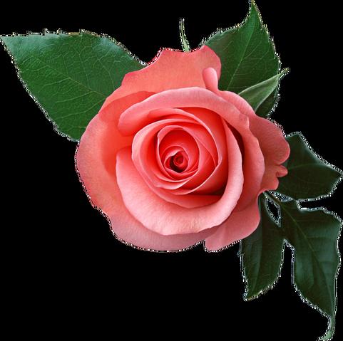 File:Rose PNG6377.png
