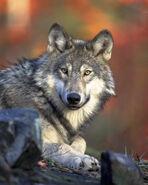 Renee Wolf