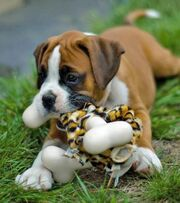 Boxer-Puppies-Pictures-3-onpuppies