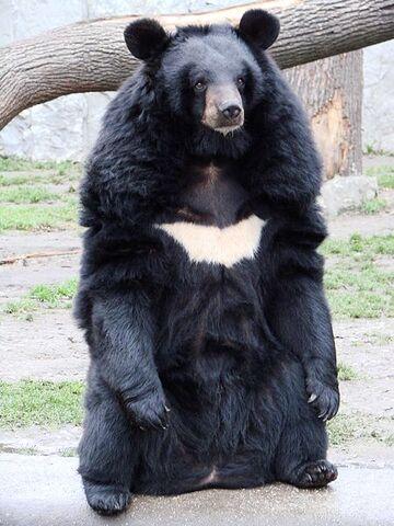 File:Asiatic black bear.jpg
