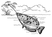 Spitting archerfish