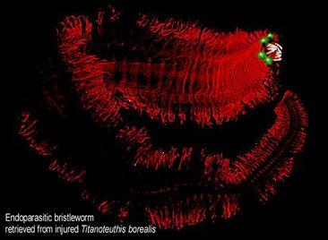 ''Endoparasitic bristleworm''