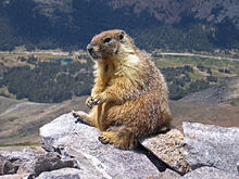 File:220px-Marmot-edit1.jpg