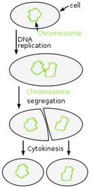 Bacterium fission