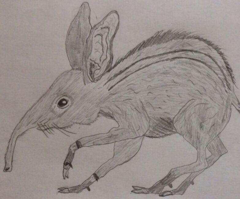 Elephantshrew
