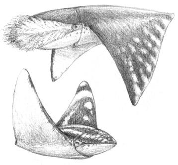 Dwarf mantasquid, Alanatator minor - striated butterfly squid, Papilloteuthis striatus