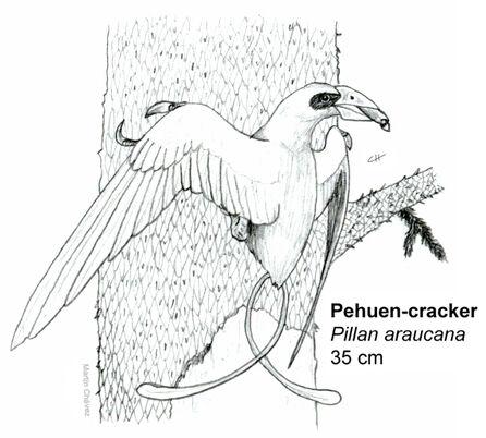 Pehuen cracker
