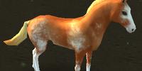 Koń Sabino