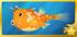 Roundbelly Cowfish§Headericon