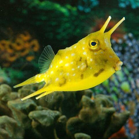 File:LonghornCowfishReal.jpg
