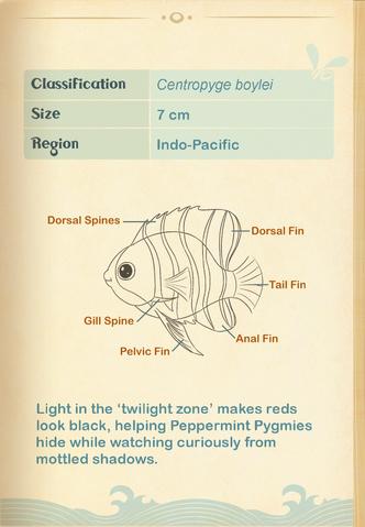 File:Peppermint Pygmy Angelfish§Aquapedia2.png