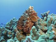 Hawaiian Day Octopus, Kona, Hawaii.