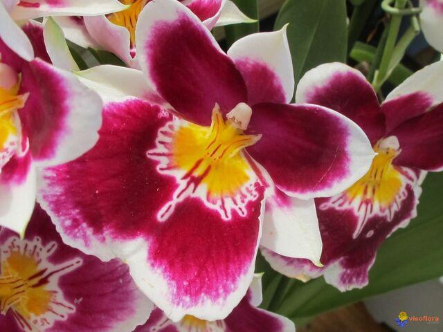 File:Une-orchidee-originale-visoflora-31105.jpg