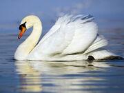 Mute Swan Wallpaper yvt2