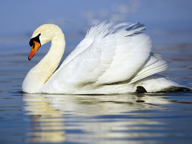 File:Mute Swan Wallpaper yvt2.jpg