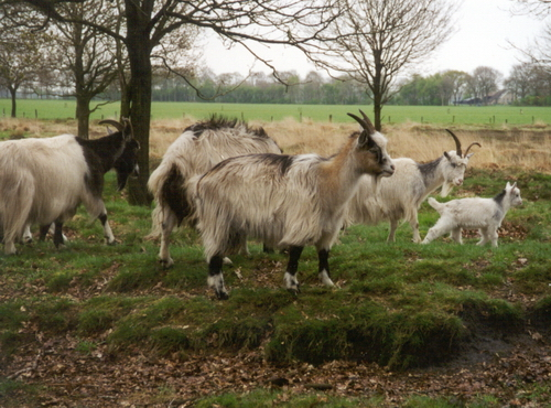 Bestand:Stone Goat.jpg