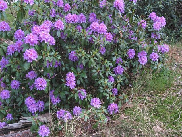 Bestand:Pontische rododendron.jpg