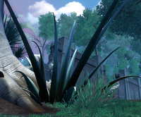 Octogave plant