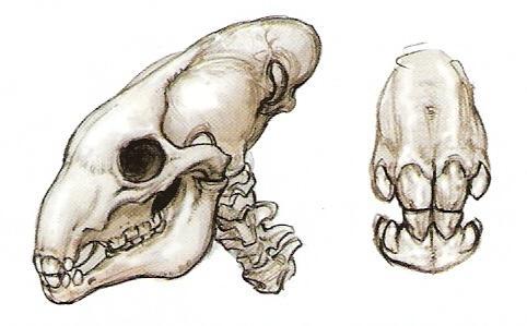 File:Utai Skull.jpg