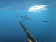 Speargun&shark2