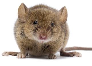 File:Mouse.jpg