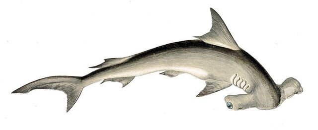 File:Hammer Shark.jpg